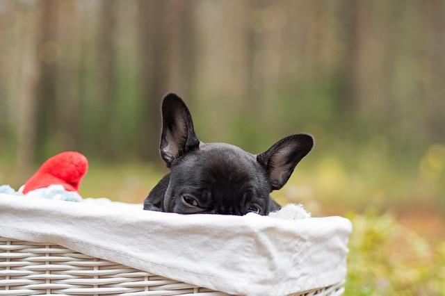Franzoesische Bulldogge Hundebett