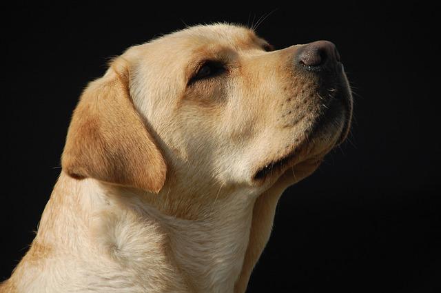 Wie groß muss ein Hundebett für einen Labrador sein?